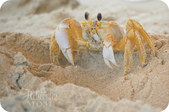Beach Crab at Crystal Coast our North Carolina Shores Vacation