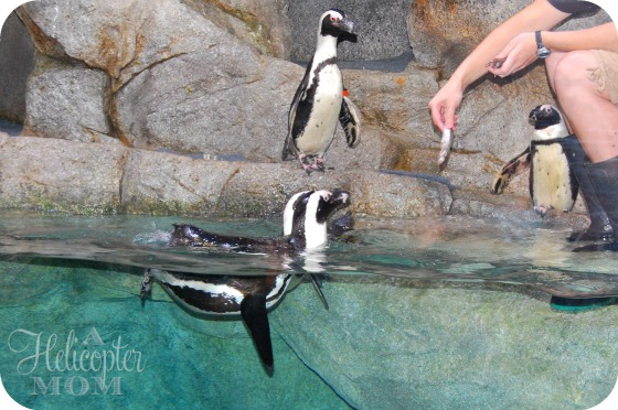 Penguins at the NC Aquarium - a great Summer Vacation Destination