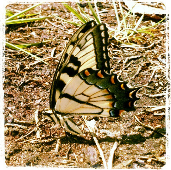 Wordless Wednesday butterfly pic