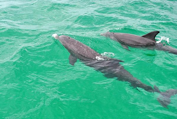 Dolphins in Destin, Florida