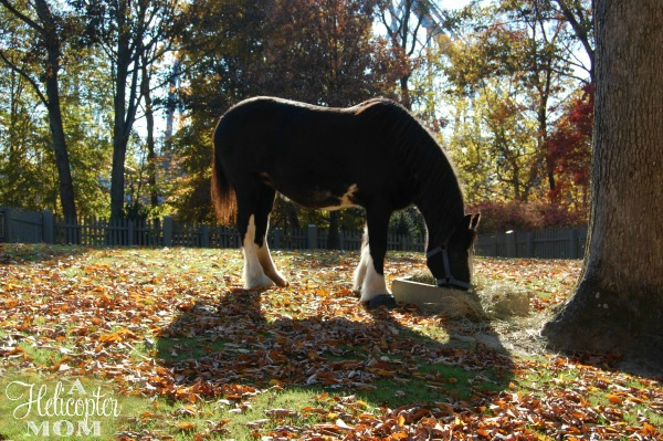 Clydesdale Horse - Christmas Town Busch Gardens
