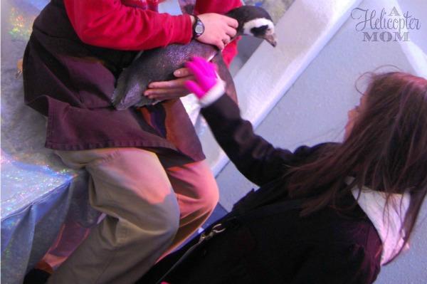 Petting the Penguins - Christmas Town Busch Gardens